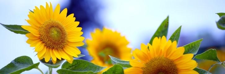 подсолнухи, уход, растения, сад, советы, квіти, рослини, поради