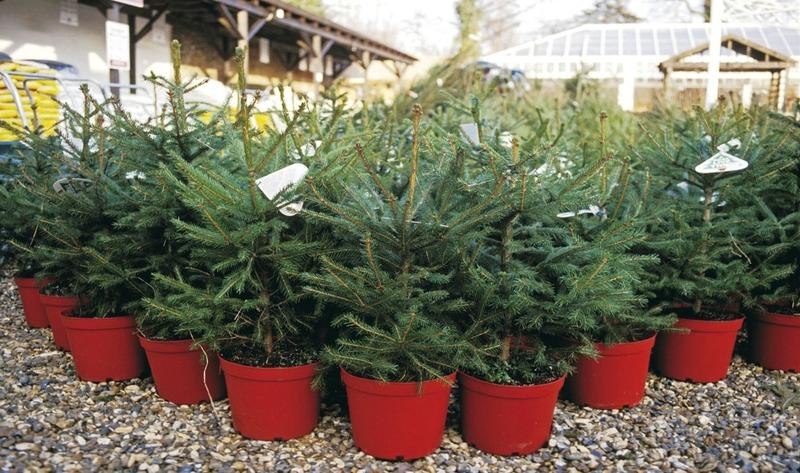 елка, растения, уход, сад, догляд, поради, ялинка