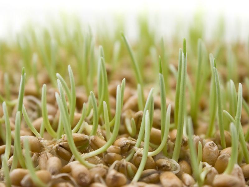овес, жеруха, посадка, вазони, догляд, рослини, уход, советы, растения