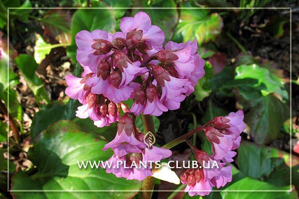 p-30399-bergenia_cordifolia-2.jpg