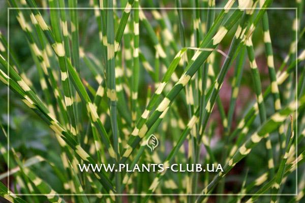 p-30413-miscanthus-sinensis-strictus.jpg