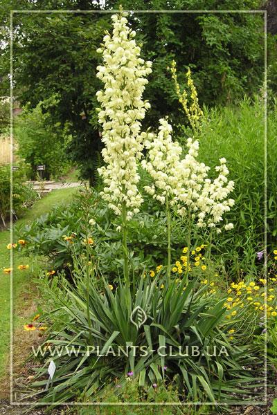 p-30426-yucca-filamentosa.jpg