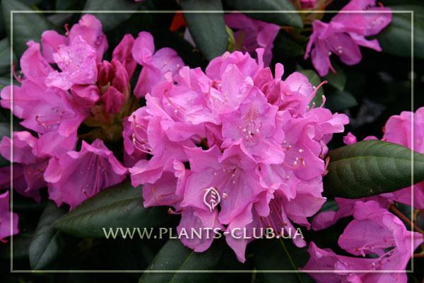 p-30443-rhododendron-roseum-elegans.jpg