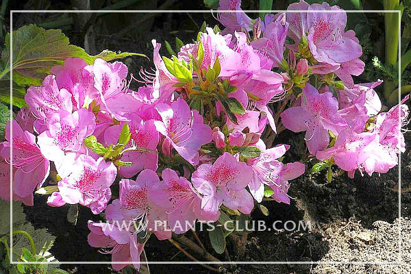 p-30448-rhododendron-azalia_japonica_ledikanense.jpg
