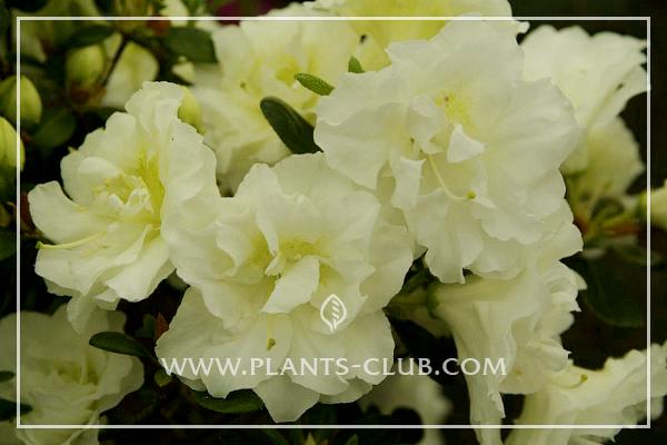 p-30454-rhododendron_azalea_japonika_schneeperle.jpg