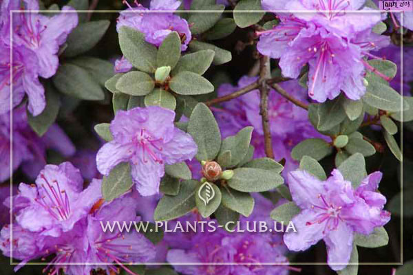 p-30470-rhododendron-impeditum-rama.jpg