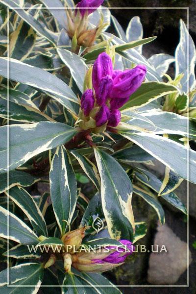 p-30481-rhododendron-ponticum-variegatum.jpg