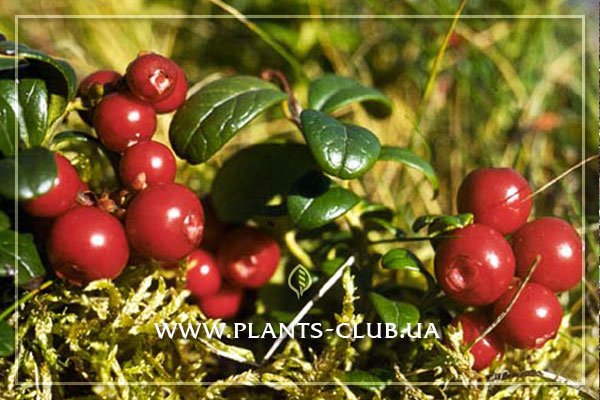 p-30486-vaccinium_vitis_idaea_runo_bielawskie.jpg