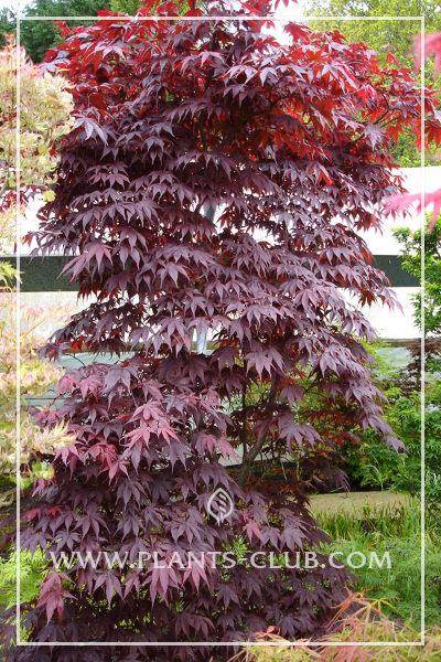 p-30507-acer-palmatum-'bloodgood'.jpg