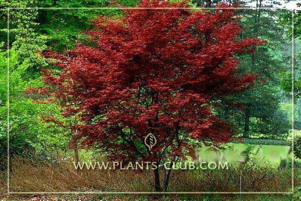 p-30518-acer-palmatum-fireglow.jpg