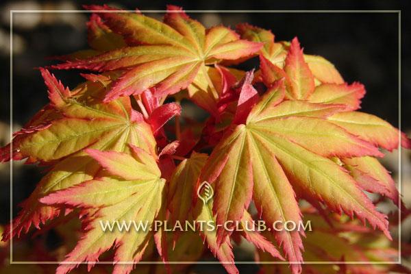 p-30523-acer-palmatum-'orange-dream.jpg