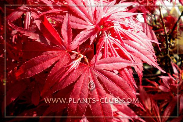 p-30533-acer-palmatum-shaina.jpg