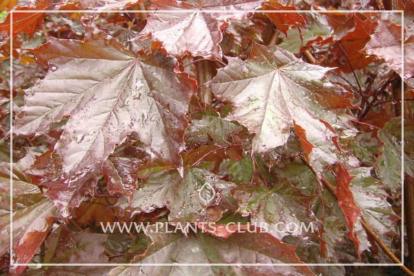 p-30537-acer-platanoides-'crimson-king'-.jpg