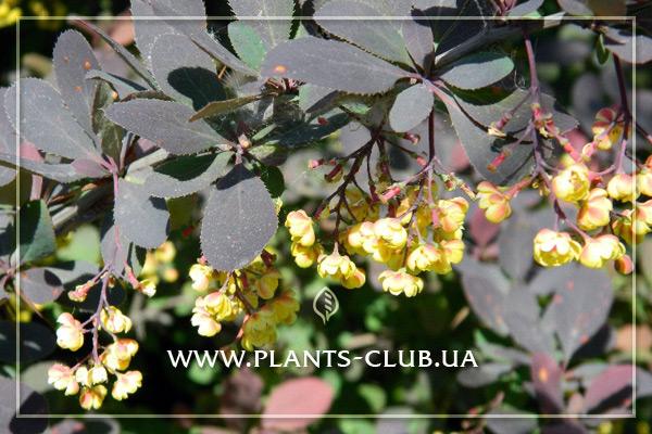 p-30590-berberis-ottawensis-3.jpg