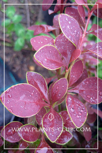 p-30670-berberis_thunbergii_'golden-ring'.jpg