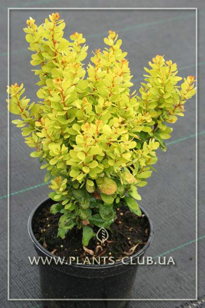 p-30677-berberis-thunbergii-'golden-rocket'.jpg