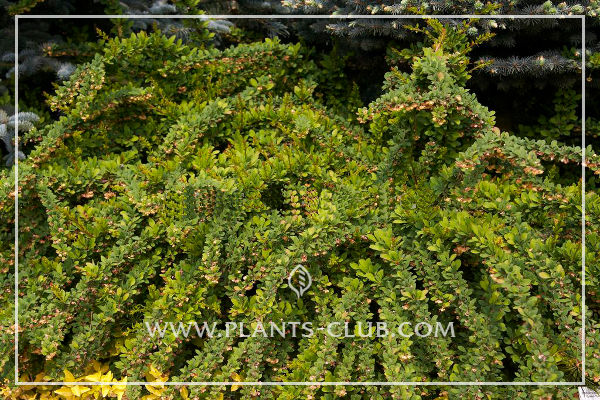 p-30688-berberis-thunbergii-green-carpet.jpg