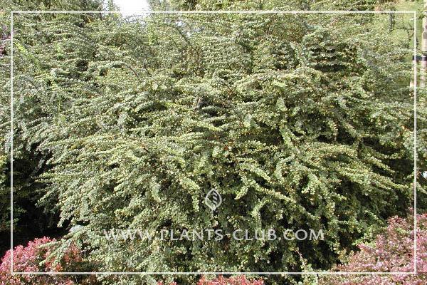 p-30693-berberis-thunbergii-'green-ornament'.jpg