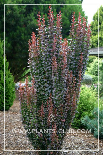p-30705-berberis-thunbergii-'hellmonds-pillar'.jpg
