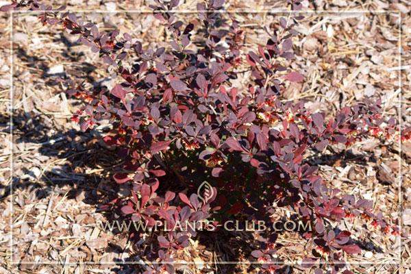 p-30733-berberis-thunbergii-'pink-a.jpg