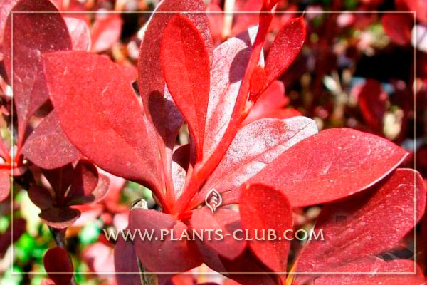 p-30745-berberis-thunbergii-red-chi.jpg