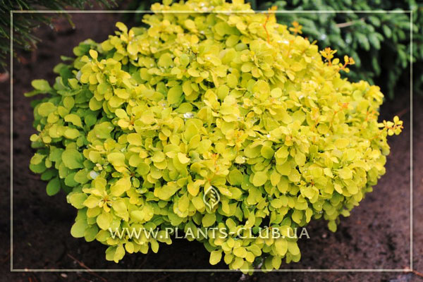 p-30778-berberis-thunbergii-tiny-gold.jpg