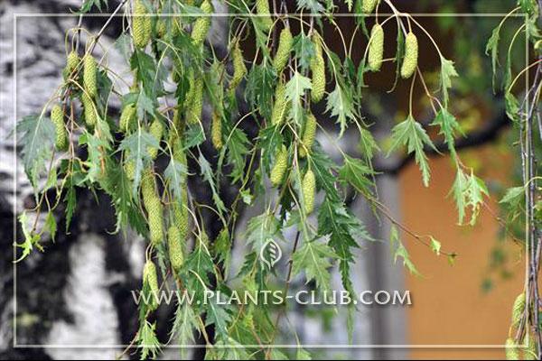 p-30797-betula-pendula-'crispa'.jpg