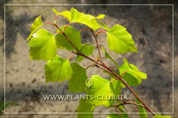 p-30801-betula-pendula-'golden-triumph'.jpg