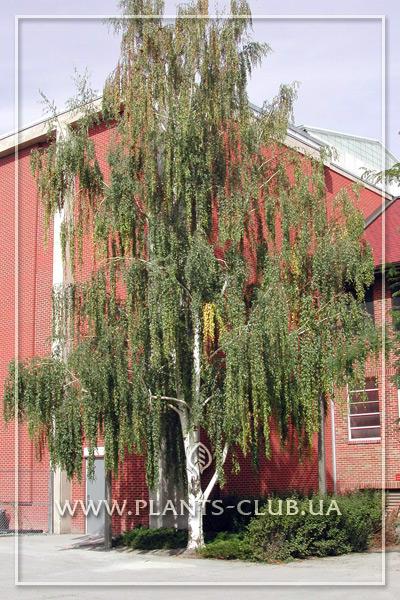 p-30805-betula-pendula-gracilis-2.jpg