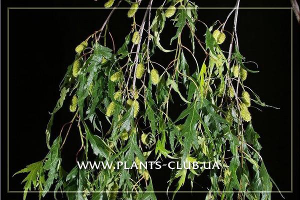 p-30805-betula-pendula-gracilis.jpg