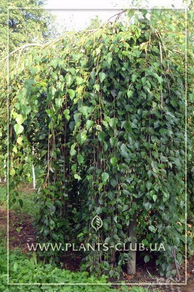 p-30811-betula-pendula-long-trunk.jpg
