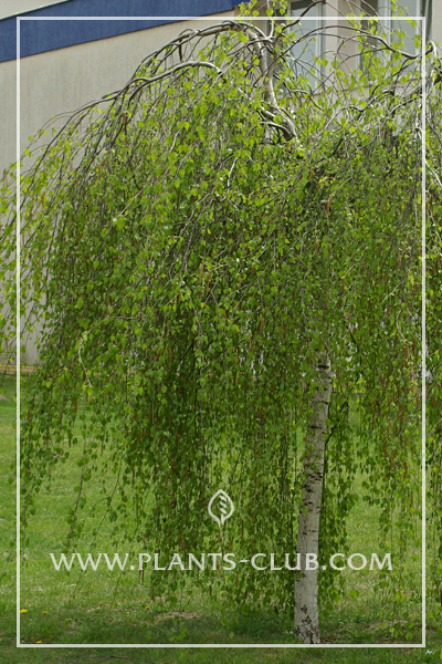 p-30819-betula-pendula-'youngii'.jpg