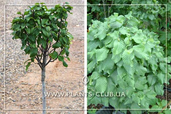 p-30845-carpinus-betulus-monument8.jpg