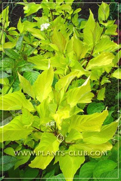 p-30861-cornus-alba-aurea.jpg