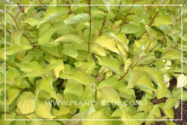 p-30861-cornus_alba_aurea.jpg