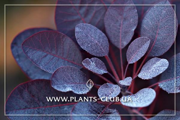 p-30888-cotinus-coggygria-royal-purple_.jpg