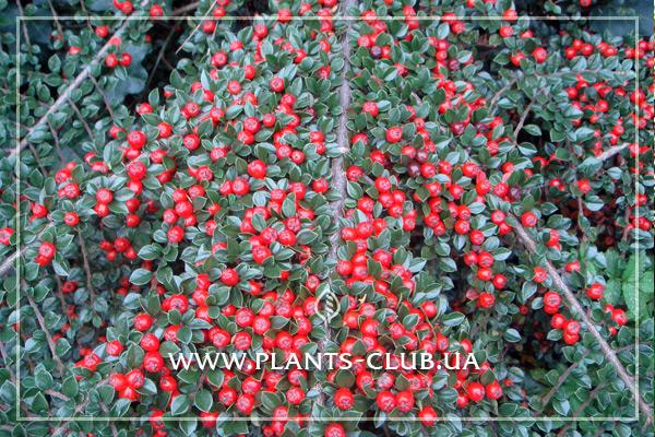 p-30898-cotoneaster_atropurpureus_2.jpg