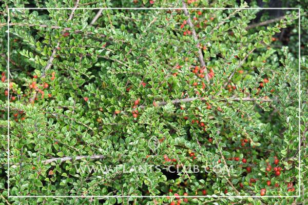 p-30926-cotoneaster-horizontalis1.jpg