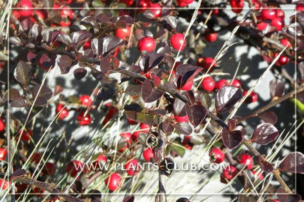 p-30938-cotoneaster-nanshan-'boer'.jpg