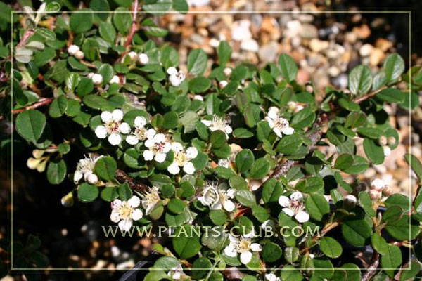 p-30942-cotoneaster-procumbens-'que.jpg