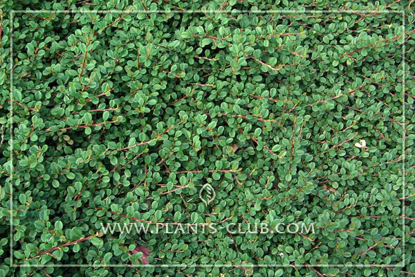 p-30947-cotoneaster-procumbens-'str.jpg