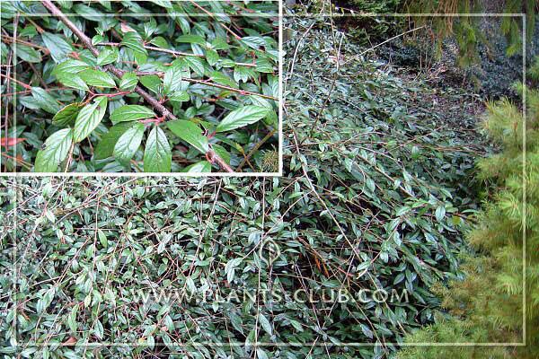 p-30956-cotoneaster-salicifolius-re.jpg