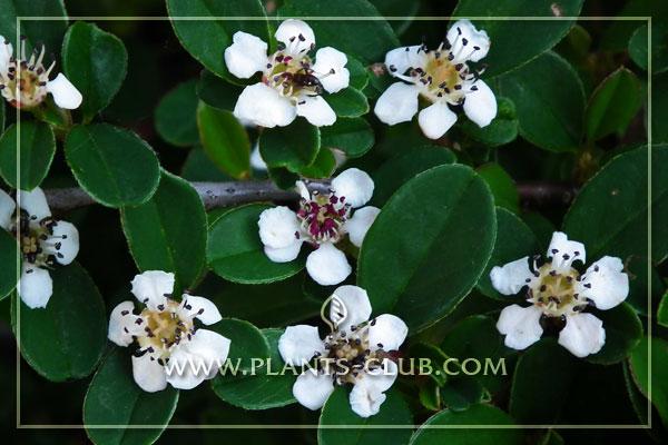 p-30961-cotoneaster-suecicus-coral-.jpg
