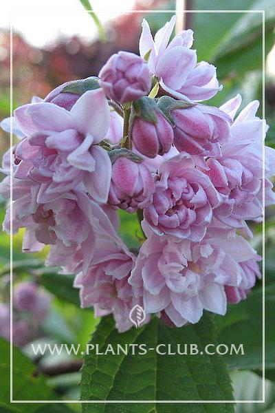 p-30986-deutzia_-hybrida_'pink-pom-pon'.jpg