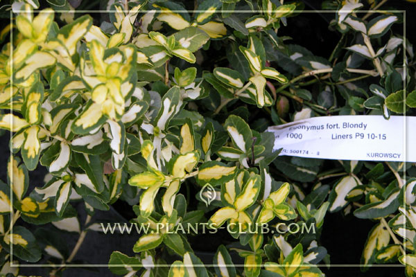 p-30994-euonymus-fortunei-'blondy'.jpg