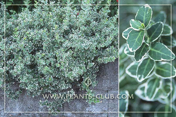 p-31003-euonymus-fortunei-'emerald-.jpg