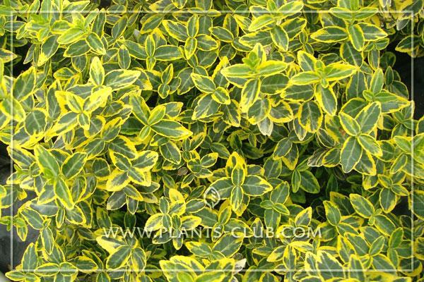 p-31009-euonymus-fortunei-'emerald'.jpg