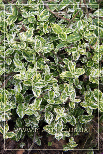 p-31019-euonymus-fortunei-harlequin.jpg