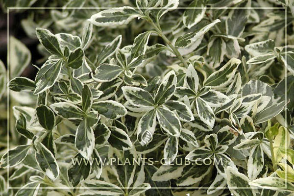 p-31038-euonymus-fortunei-'variegat.jpg