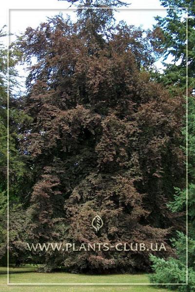 p-31057-fagus-sylvatica-rohanii.jpg